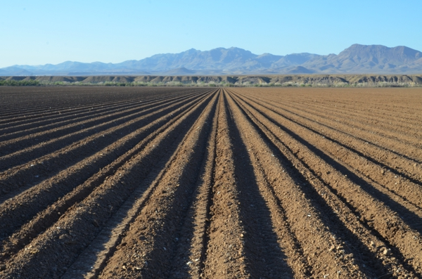 Fields of freshly planted cotton outside of Safford, Arizona