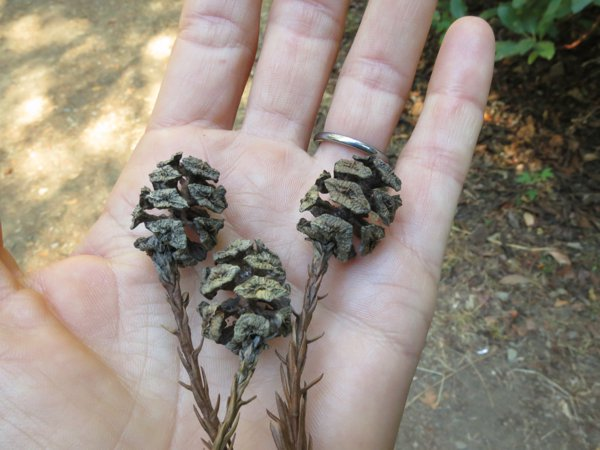 Redwood cones: It's amazing that something so large can have its beginnings in something so small.