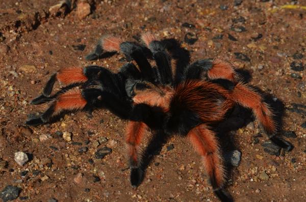 roadside tarantula