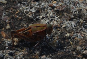 There seems to be an exodus of huge grasshoppers to the road – they make a gross crunch when we run them over.