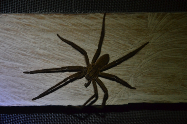This arachnid spanned was at least 4 inches (10 cm) in diameter