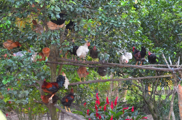 Chickens nesting in a sweet lemon tree at Nola's house