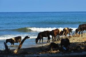 Cows enjoying a salt lick in the Caribbean Sea behind Nola's house