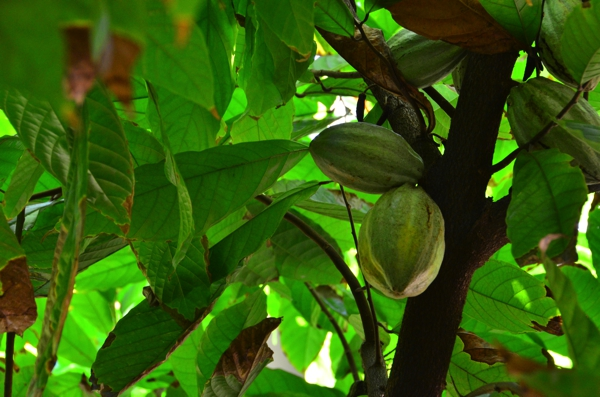 Cacao pods on the Cacao Tree.  The ripening process takes about five months.  The thick shelled cacao pod contains a sweet white pulp surrounding the bitter cacao beans.  Each pod contains 20 to 60 beans.