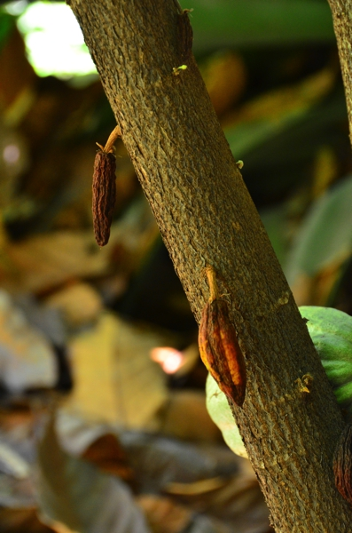 While fewer than 5% of the cacao flowers are pollinated, not all of those pollinated produce fruit.  A tree will allow some fruits to wither rather than reach maturity.