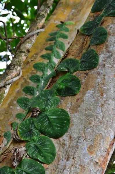 vine on tree trunk