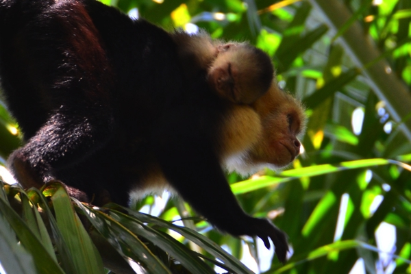 white-faced capuchin with baby