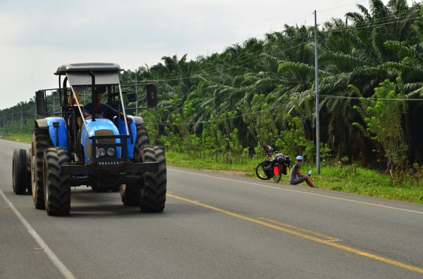 Tractor used to collect the palm fruit