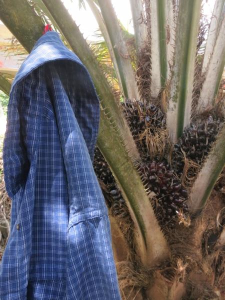 Shirt drying on a palm