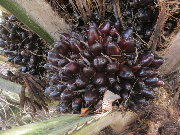 Palm fruit grown for oil
