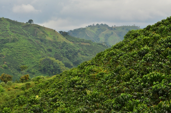 More coffee and bamboo covered hills