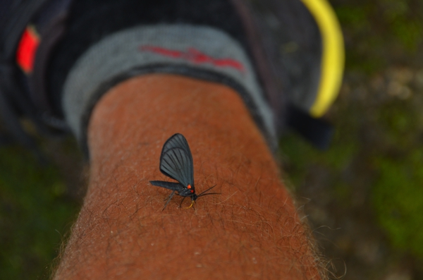 Butterfly licking the salt from my leg.  Saltfly?