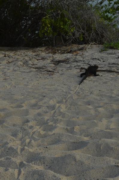 marine iguana tail trail