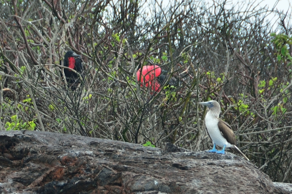 A lone Blue-Footed Booby.