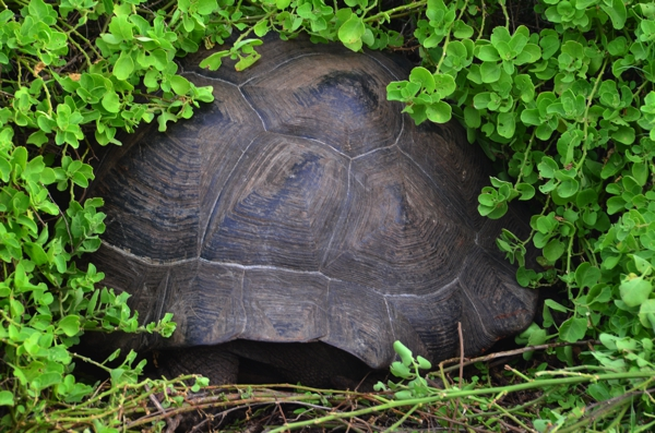 Tortoise hiding in the bushes.