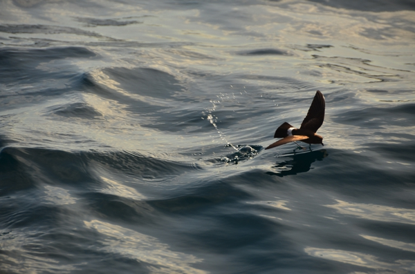 Storm petrel feeding by surface pattering, moving its feet on the water's surface while hovering above the water.