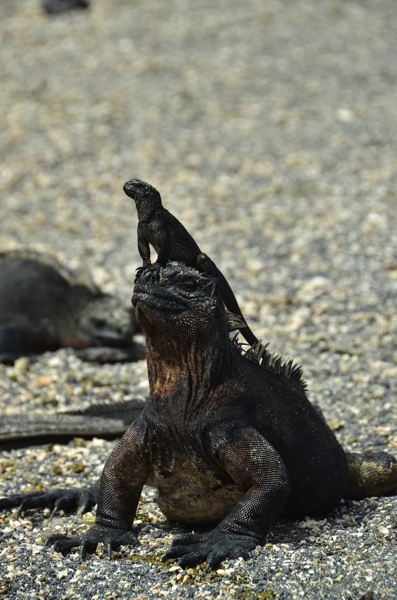 adult marine iguana with a baby marine iguana on its head