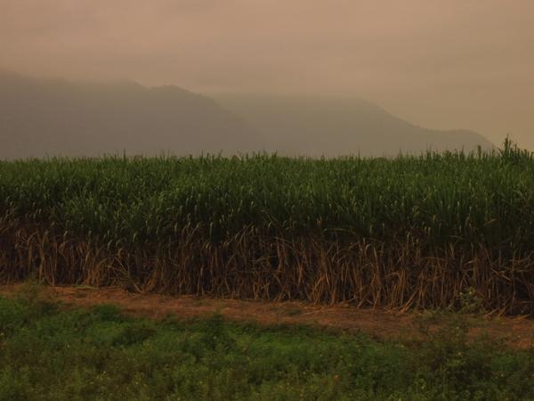 Surgarcane fields