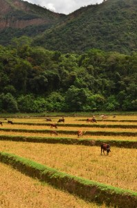 Cattle in fields of harvested rice