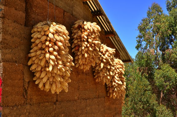 Corn hanging out to dry