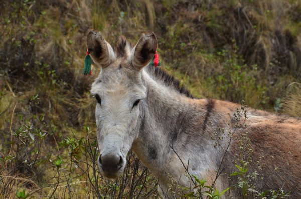 We don't have a photo of angry dogs, so here's a cute donkey with tassels in its ears.