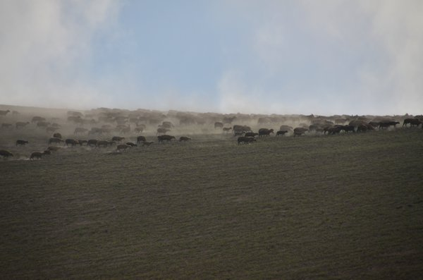 A stampede of sheep over the pampa.