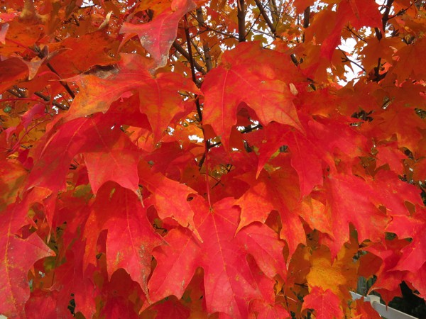 The changing colors of the Maple tree leaves.