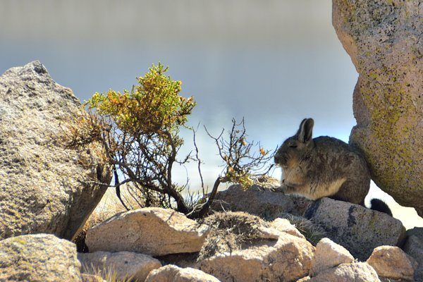 vizcacha (rodent that looks like a rabbit with a long tail)
