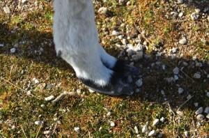 little llama feet