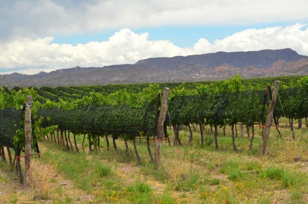 More vineyards. The grapes are covered to protect them from the seasonal hail storms.