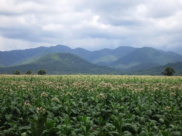 fields of tobacco