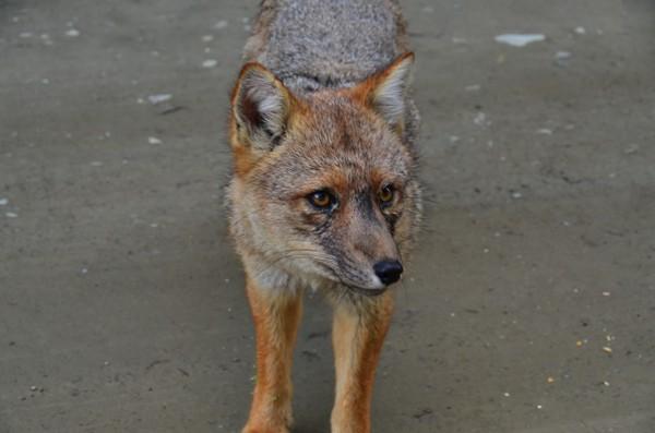 Fuegian Red Fox