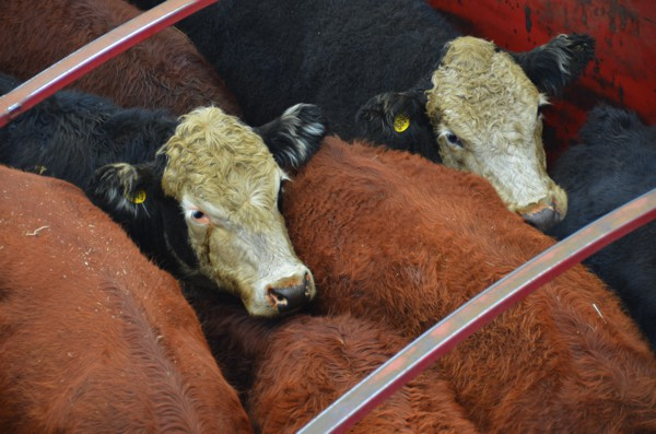 We felt bad for these cows as they were crammed in the truck and exposed to the elements.