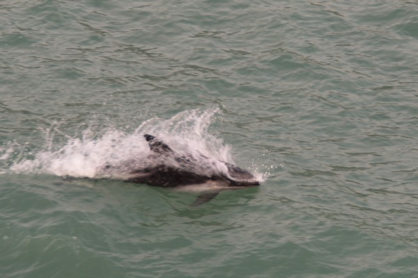 Dolphin swimming alongside the ferry.