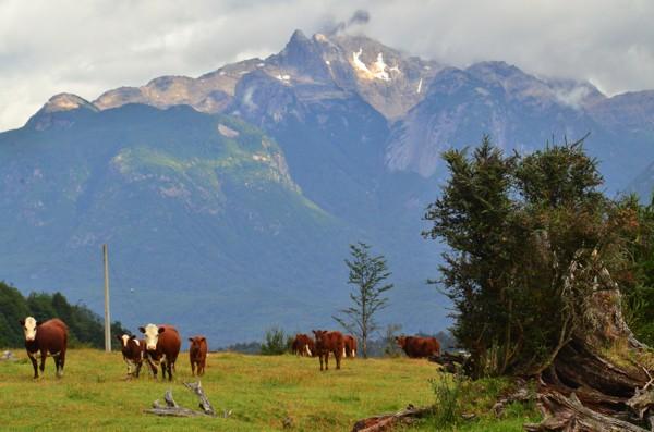 Bovine invasion at camp this morning.