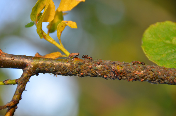 Our campsite was crawling with aphids and ants. It was SO COOL to see the Aphid-Herding Ants at work.