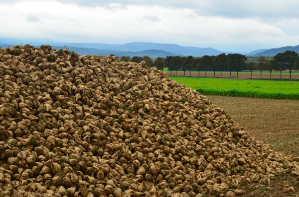 Mountain of sugar beets.