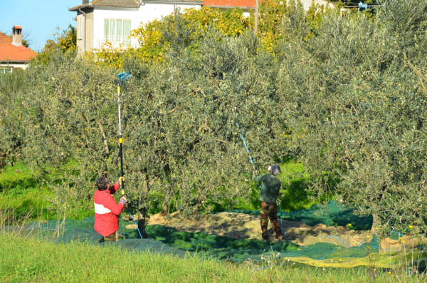 In case you've ever wondered how olives are harvested. First they line the surrounding area with cloth. Then they use these long vibrating arms to shake the olives out of the trees - now you know.